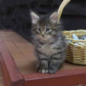 fluffy tabby kitten by wicker basket